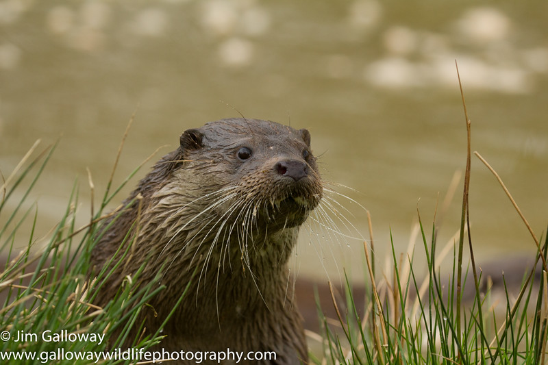 Eurasian otter, Lutra lutra