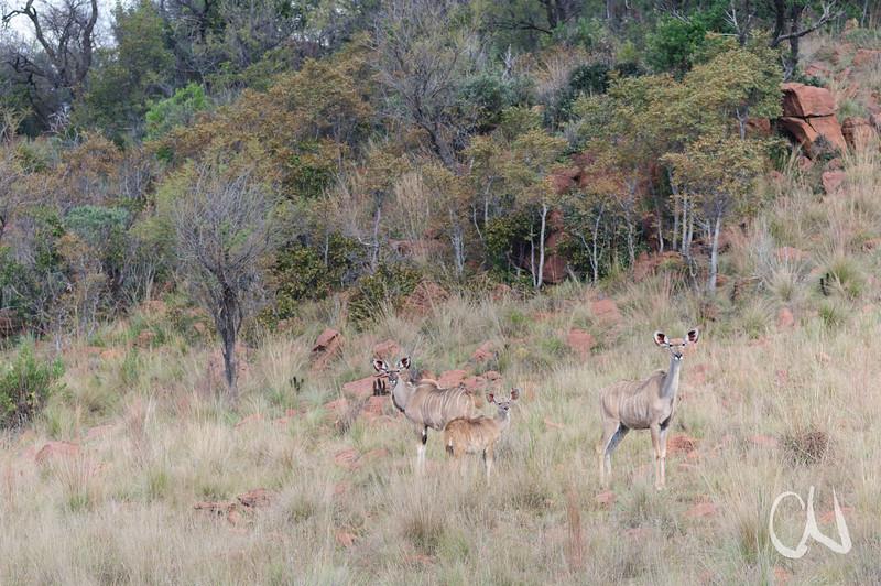Greater Kudu, mother with calf and young male, Großer Kudu, Tragelaphus strepsiceros, Antilope, Kalb, Jungtier, Ezemvelo Nature Reserve, Südafrika, South Africa