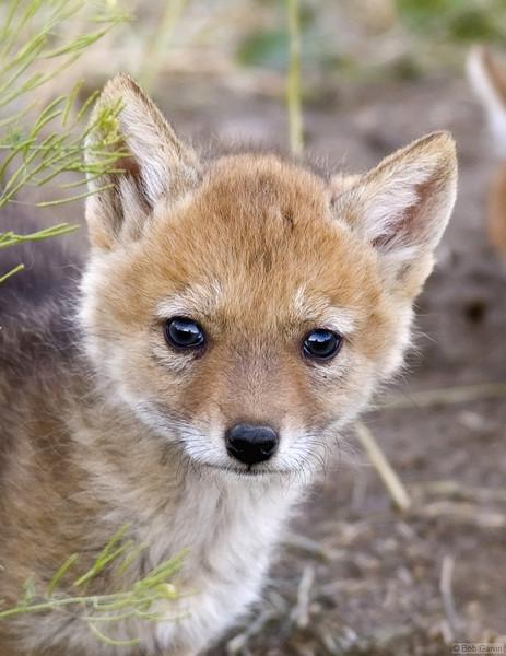 Coyote Pups<br /> Boulder County, Colorado<br /> Sawhill Ponds