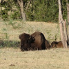 American Bison cow and calf.