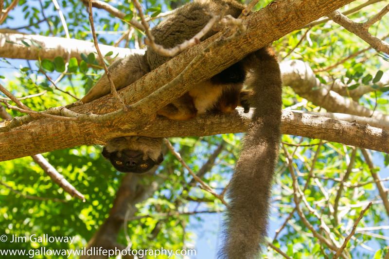 Common Brown Lemur,  Eulemur fulvus