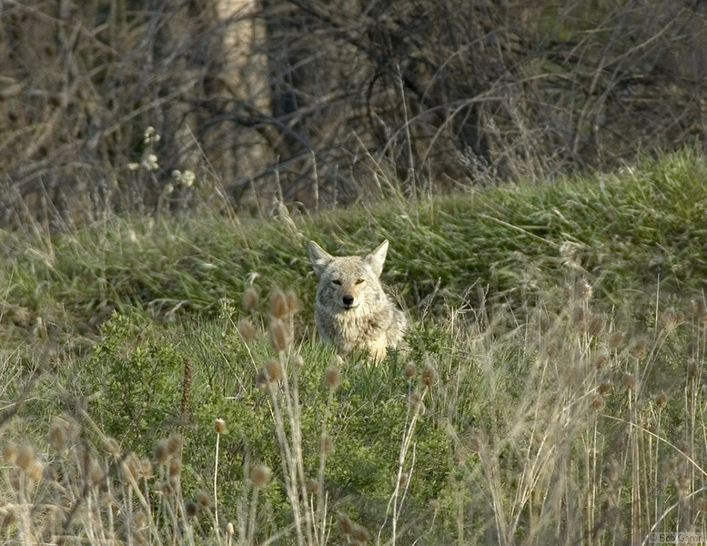 Coyote<br /> Boulder County, Colorado<br /> Sawhill Ponds