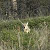 Coyote<br /> Boulder County, Colorado<br /> Sawhill Ponds