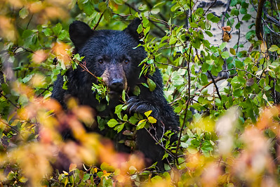 Black Bear eating Hawthorn Berries