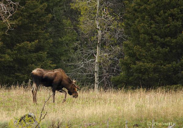 """""""Moose"""""""