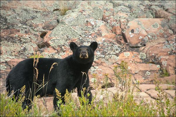 Black Bear Ursus americanus