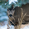 Mule Deer Doe, Banff National Park