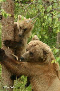 Mom, HELP! Grizzly bear mom rescuing its cub after a male grizzly bear chased it up a tree, Katmai, Alaska