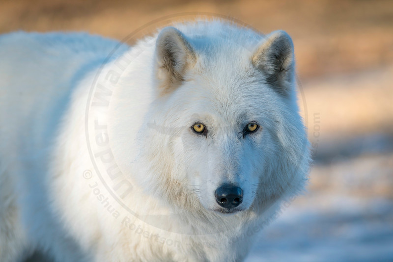 High Content Wolf-Dog, Yamnuska Wolf-Dog Sanctuary