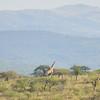 Giraffe, Giraffa camelopardalis, Hluhluwe-Imfolozi Game Reserve, Südafrika, South Africa, Hluhluwe-Umfolozi Game Reserve, Imfolozi, Südafrika, South Africa