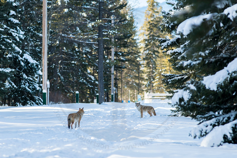 2 Coyote's, Banff National Park