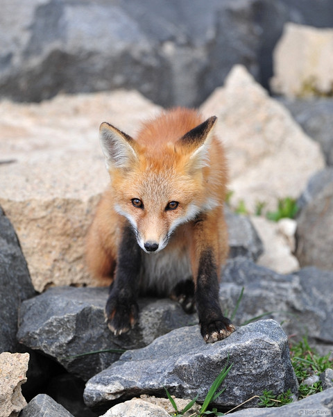 Red Tail Fox<br /> Boulder County, Colorado