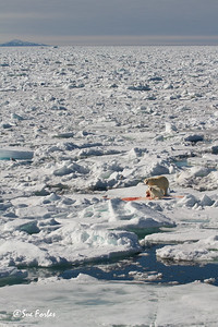 Polar Bear (ursus maritimus) mother & cubs with their kill on the pack ice, Svalbard, Norway