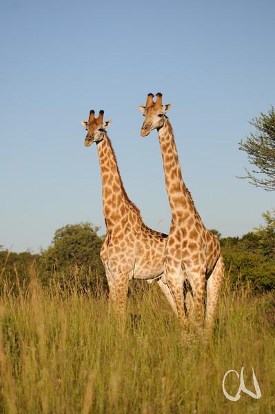 zwei Giraffen im Abendlicht, Giraffa camelopardalis, Nylsvley Nature Reserve, Limpopo, Südafrika