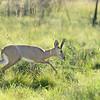 Steinböckchen läuft durch Gras, Steenbok, Raphicerus campestris, Pilanesberg National Park, Südafrika