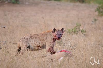 Spotted Hyena, Crocuta crocuta, Tüpfelhyäne an einem frisch gerissenen Nyalaweibchen, Krüger Nationalpark, Punda Maria, Kruger National Park, Südafrika, South Africa
