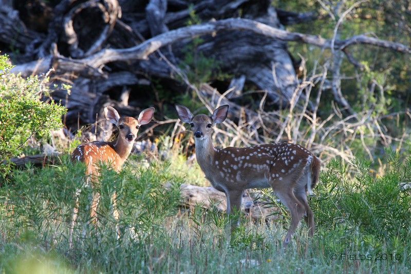 Twin White-tailed Deer fawns.