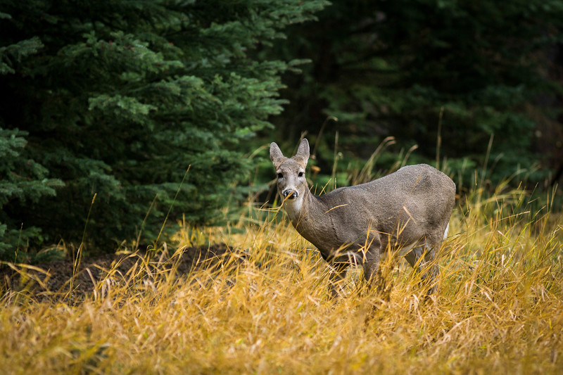 White-Tailed Deer, Banff, National Park.