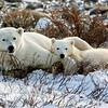 Mom & cub polar bear<br /> Mom and cub resting after nursing, Churchill, Canada
