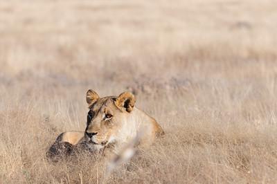 Löwenweibchen, lioness, Panthera leo, Etosha National Park, Namibia