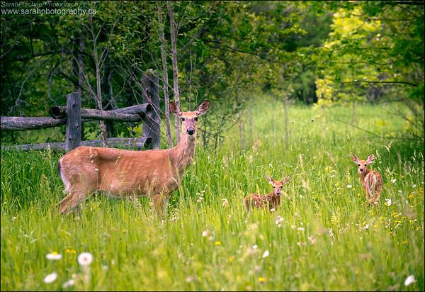White-tailed Deer Odocoileus virginianus