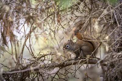Red squirrel -Tamiasciurus hudsonicus