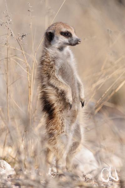 Meerkat, Suricate, Erdmännchen, Suricata suricatta, an der R31 zwischen Askham und Van Zylsrus, Kalahari, Südafrika, South Africa