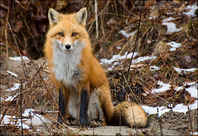Red Fox  <i>Vulpes vulpes</i>