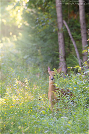 White-tailed Deer fawn Odocoileus virginianus