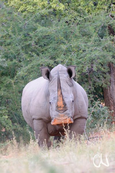 """Breitmaulnashorn, White Rhino with """"sand make-up"""", Ceratotherium simum, Marakele National Park, Limpopo-Provinz, Südafrika, South Africa"""