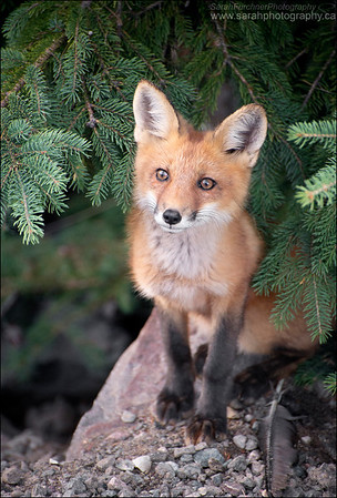 Red Fox kit Vulpes vulpes