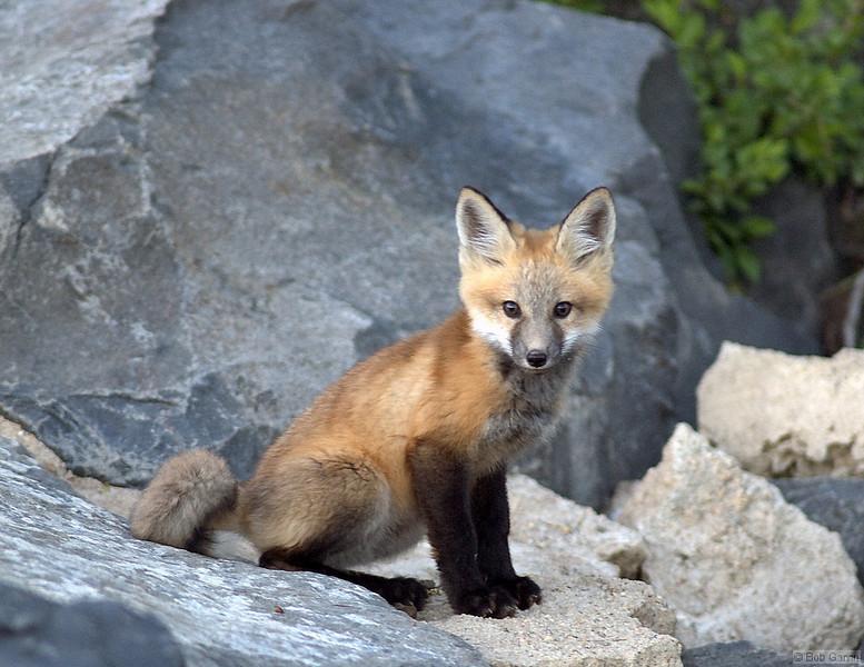 Red Tail Fox<br /> <br /> Boulder County, Colorado, 2005