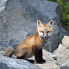 Red Tail Fox<br /> <br /> Boulder County, Colorado, 2005