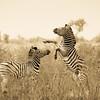 Zebrahengste kämpfen, Kampf, Krüger Nationalpark, Kruger National Park, Südafrika, South Africa