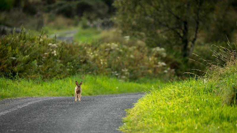 Brown Hare, Lepus europaeus