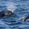 Pilot Whales, Nova Scotia, Canada