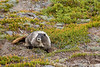 """Hoary Marmot"" Captured while hiking in Mount Rainier National Park.  #81081357  © Payam Nashery - Photoarts"