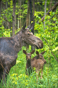 Cow Moose and Calves.  Alces alces