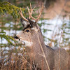 Mule Deer Buck, Banff National Park