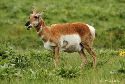 """""""Pronghorn Antelope"""""""