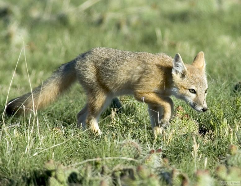 Swift Fox Pups<br /> Weld County, Colorado<br /> Pawnee National Grassland