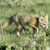 Swift Fox Pups<br /> Weld County, Colorado<br /> Pawnee National Grassland
