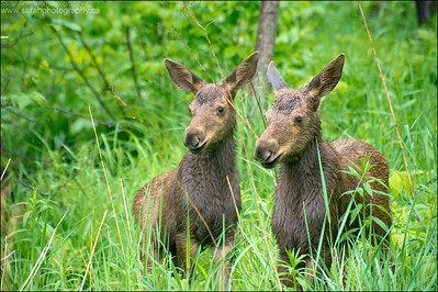 Moose Calves.  Alces alces