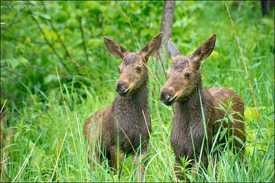 Moose Calves.  Alces alces