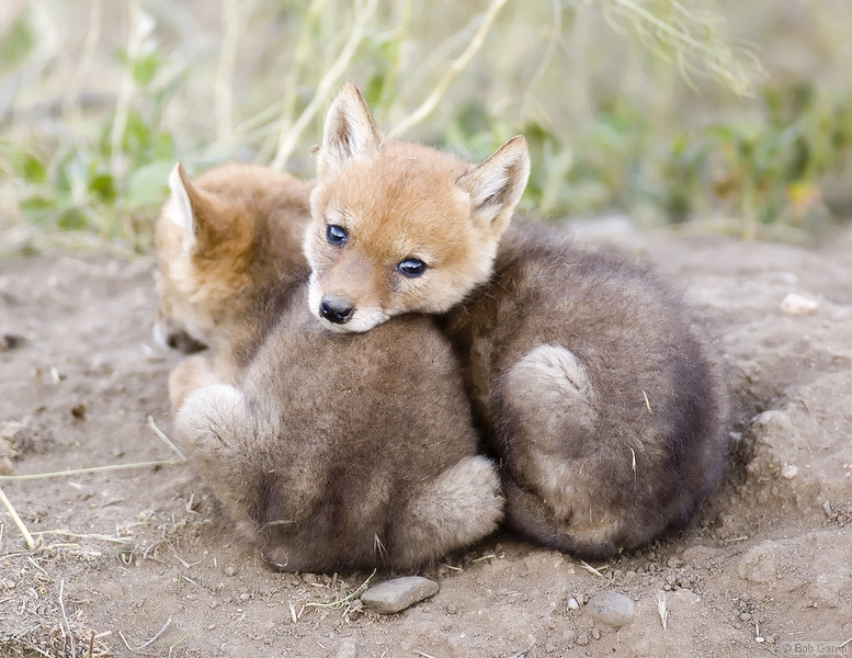 Coyote Pups<br /> Boulder County, Colorado<br /> Sawhill Ponds