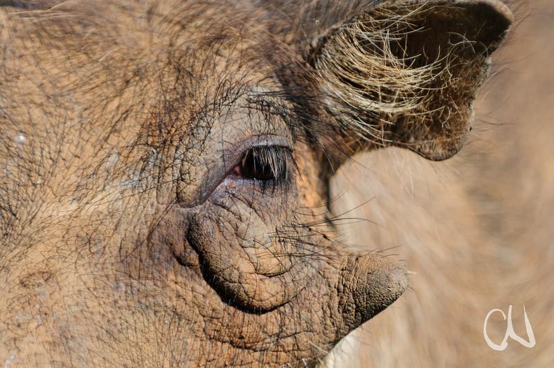Auge und Ohr eines Warzenschweins, (Phacochoerus africanus), Pilanesberg National Park, Südafrika