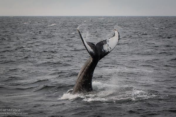 Humpback Whale (Megaptera novaeangliae) fluke