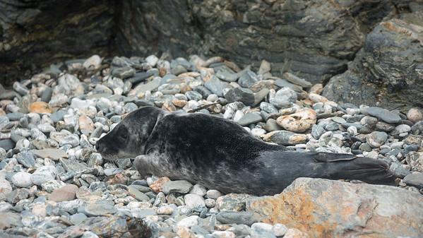 Grey Seal pup, Halichoerus grypus