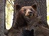 Mother Black Bear Nurses her three cubs.  Tuolumne Meadows, Yosemite NP.