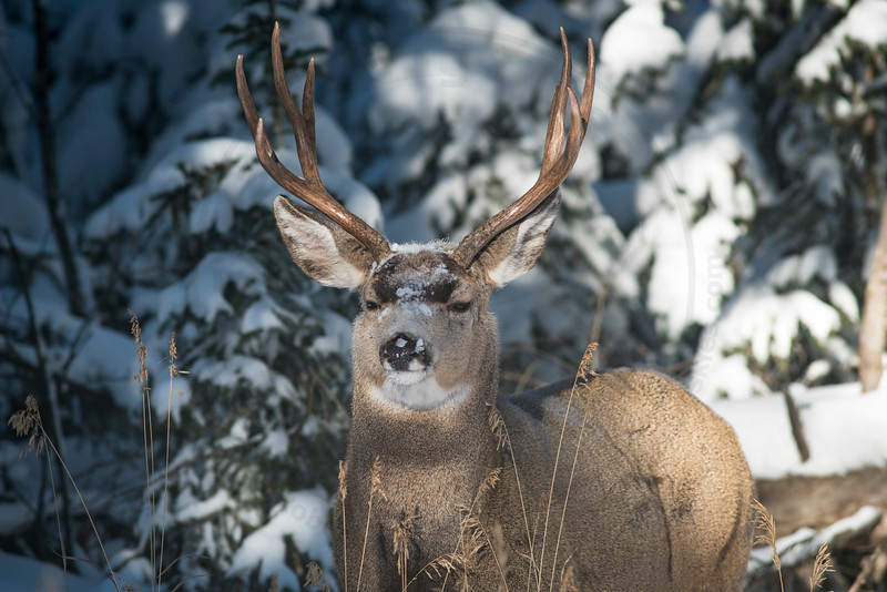 Suspicious Mule Deer Buck, Banff National Park